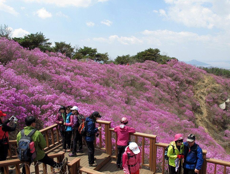 Goryeosan Azalea Festival In Ganghwa Island Korea Spring Time Means Festival Time In Korea If You Are Travelling Time In Korea South Korea Azalea Festival