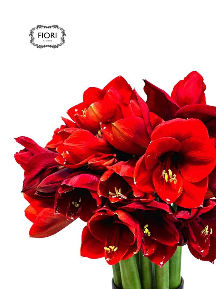 Amaryllis Handtied in a Vase 20 blooms of Amaryllis in a clear vase for an unforgettable holiday gift.  Available in red and white