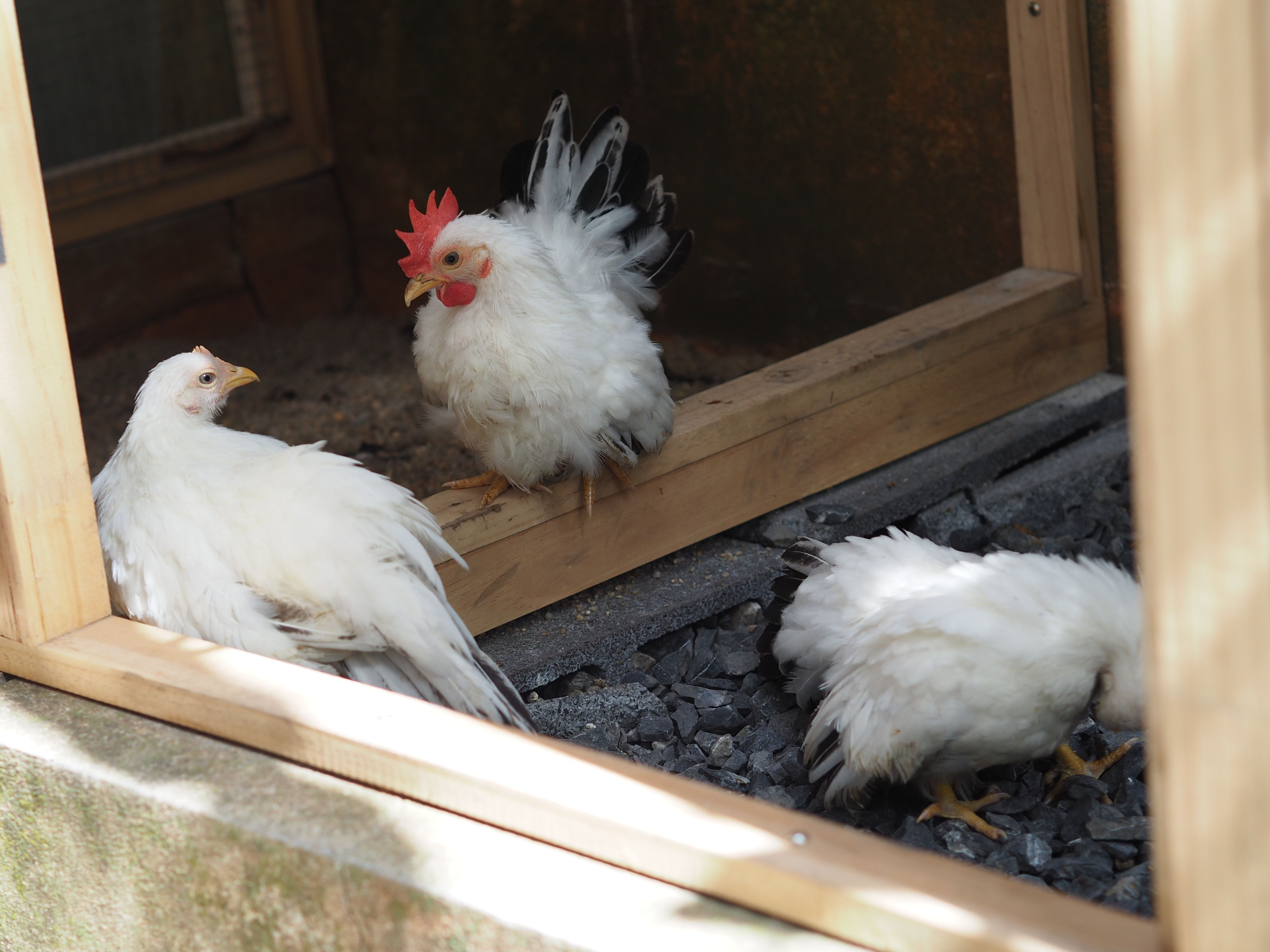 My 3 Months Old Black Tailed White Japanese Bantams