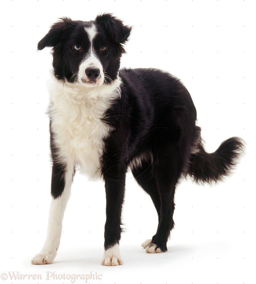 Pin Auf Border Collie