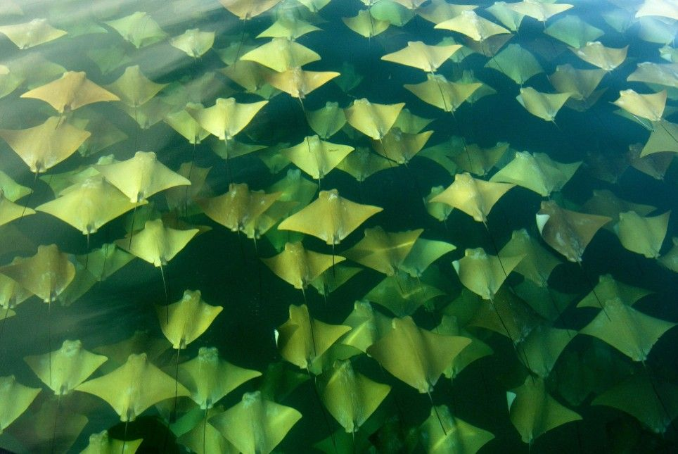 A Fever of Stingrays. Taken off the coast of Mexico's Holbox Island by Sandra Critelli.