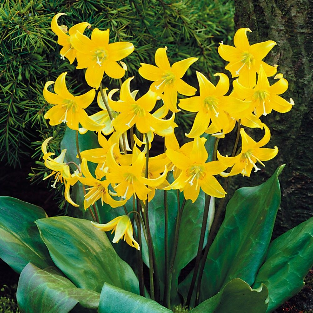 In spring this vigorous erythronium will bear long strong stems in spring this vigorous erythronium will bear long strong stems producing 4 to 5 large canary yellow flowers with a brown ring in the centre mightylinksfo