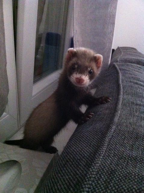 Meet Bandit ! http//ift.tt/2oBsZ0x Baby ferrets, Funny