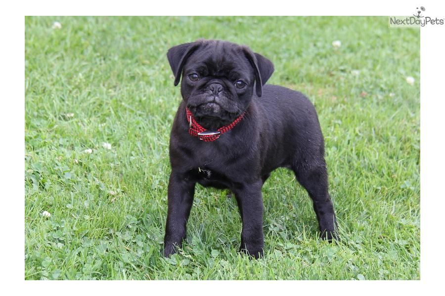 You Ll Love This Male Pug Puppy Looking For A New Home Pug