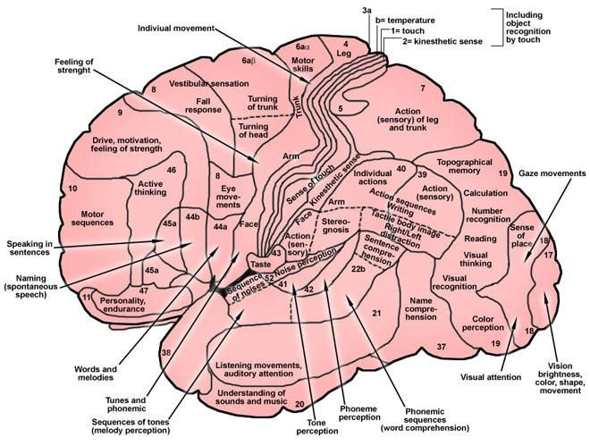 Brain Anatomy Overview Gross Anatomy Cerebrum Gross Anatomy