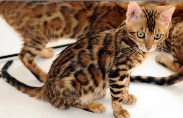 kittens that look like tigers - Google Search need one