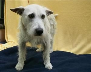 Rupert is an adoptable Scottish Terrier Scottie Dog in Portland, OR. My name is Rupert and I'm looking for a warm lap to lie on. It takes me a little time to trust new people in new places, but give m...