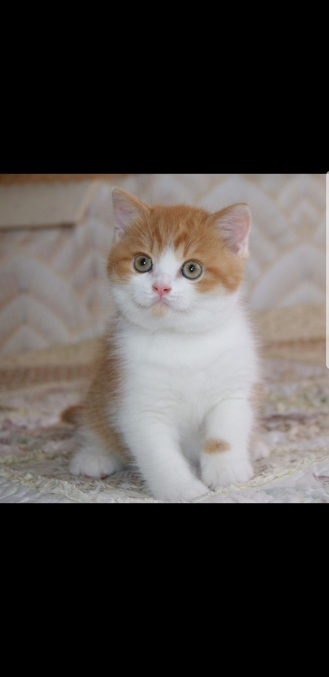 British Shorthair Kittens For Adoption British Shorthair Kittens For Sale Near Me British Shorthair Kittens Kitten Adoption British Shorthair