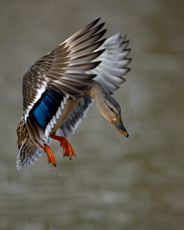 Como paisagem ao morrer o dia, o voar do ganso