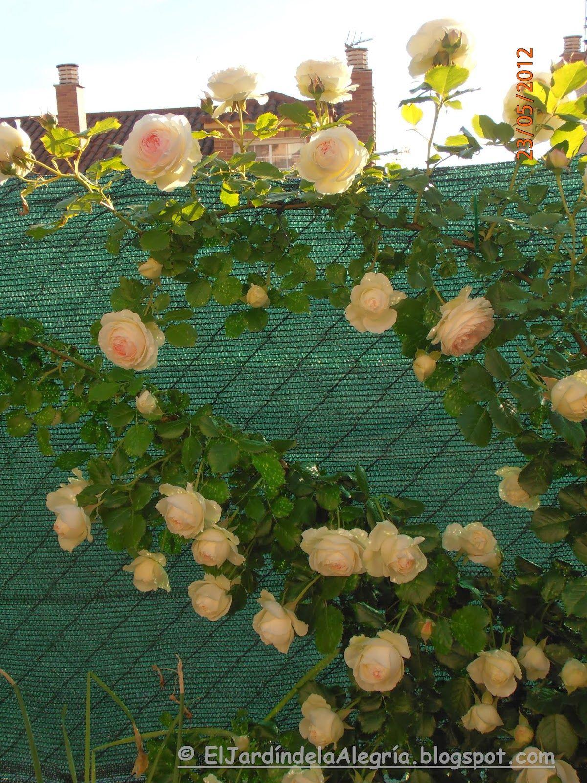El Jardín De La Alegría Como Se Podan Los Rosales Trepadores