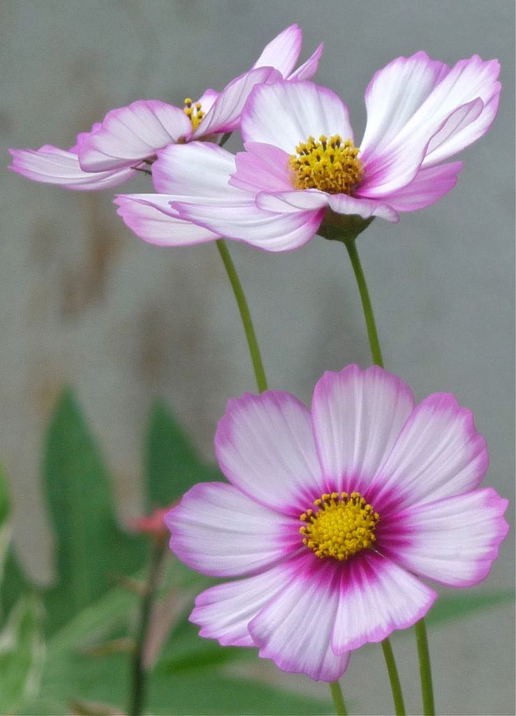 Whimsical Cosmos Cosmos Flowers Pretty Flowers Photography Flowers Nature