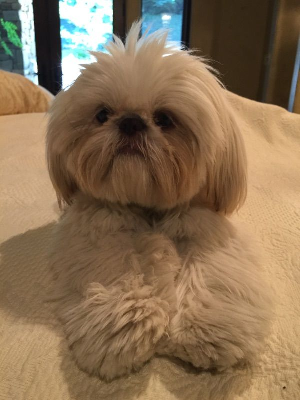 Shihtzu Lucy Bear 10 Months Old Shih Tzu Puppy Shih Tzu Dog