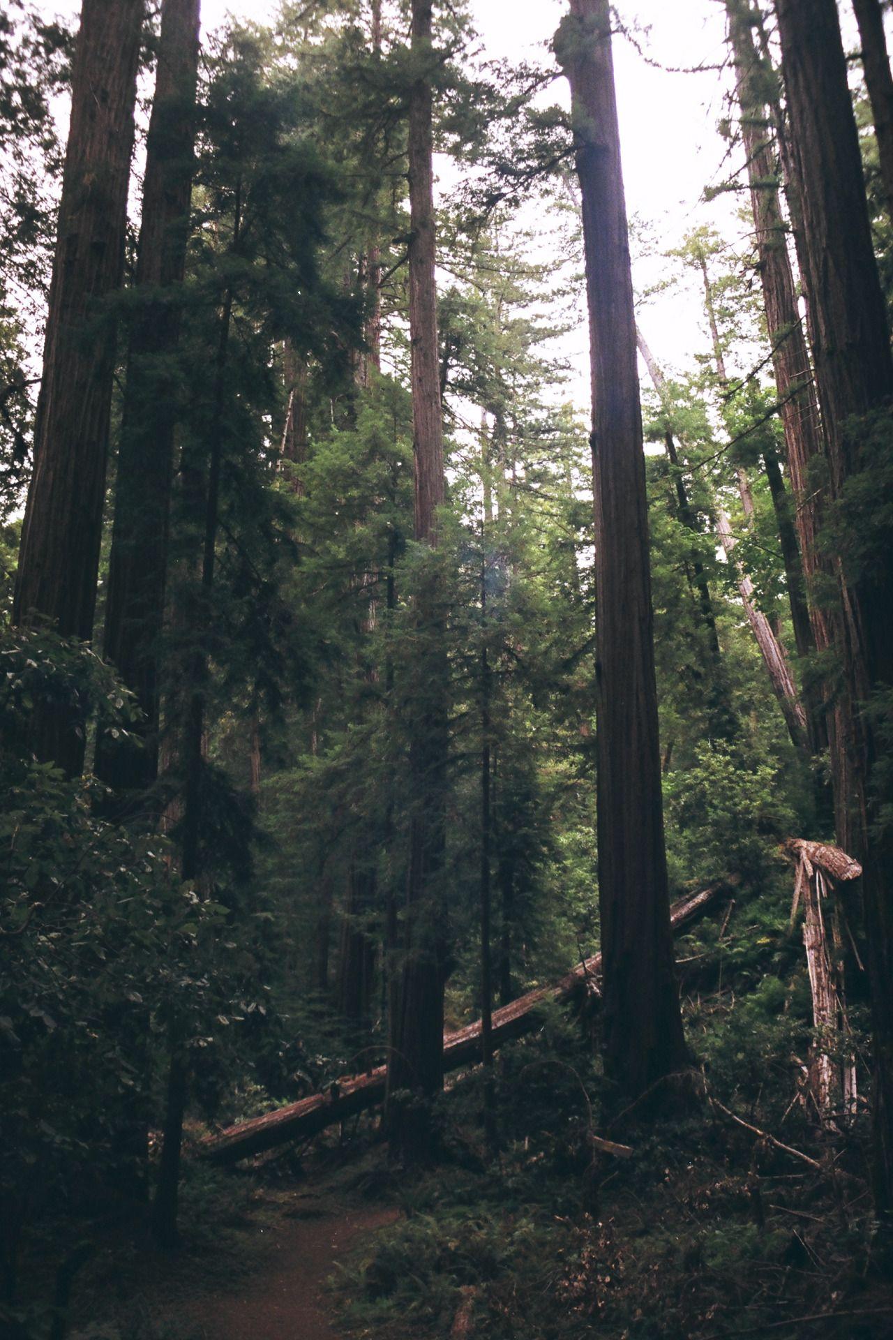 northwezt:  Portola Redwood Forest, CA Olympus om-40 (FujiFilm 200)
