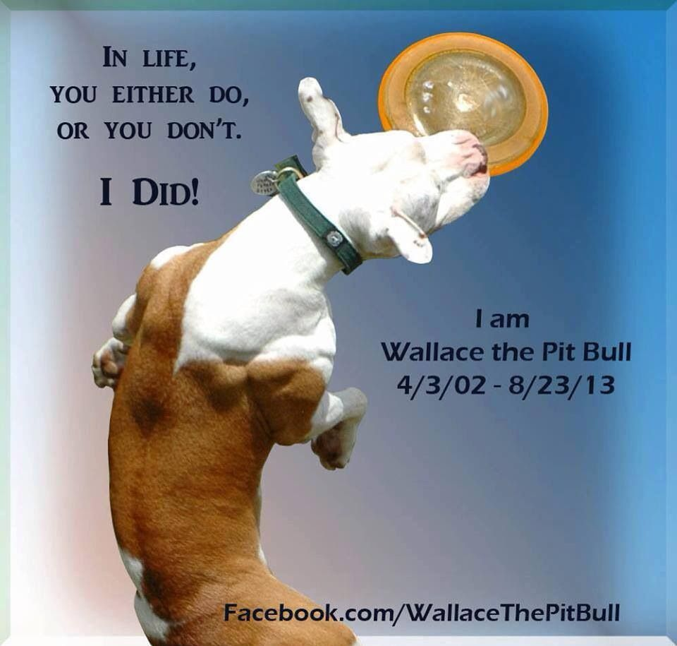 Wallace the Pit Bull... RIP Sweet boy!