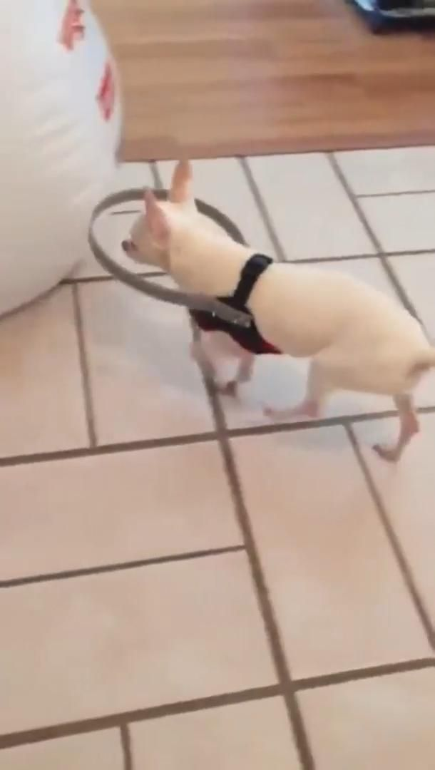 Owner made this to save blind dog from hitting the