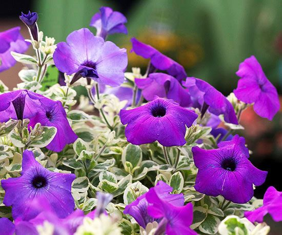 Top New Blue Pink And Purple Annual Varieties For 2013 Flores
