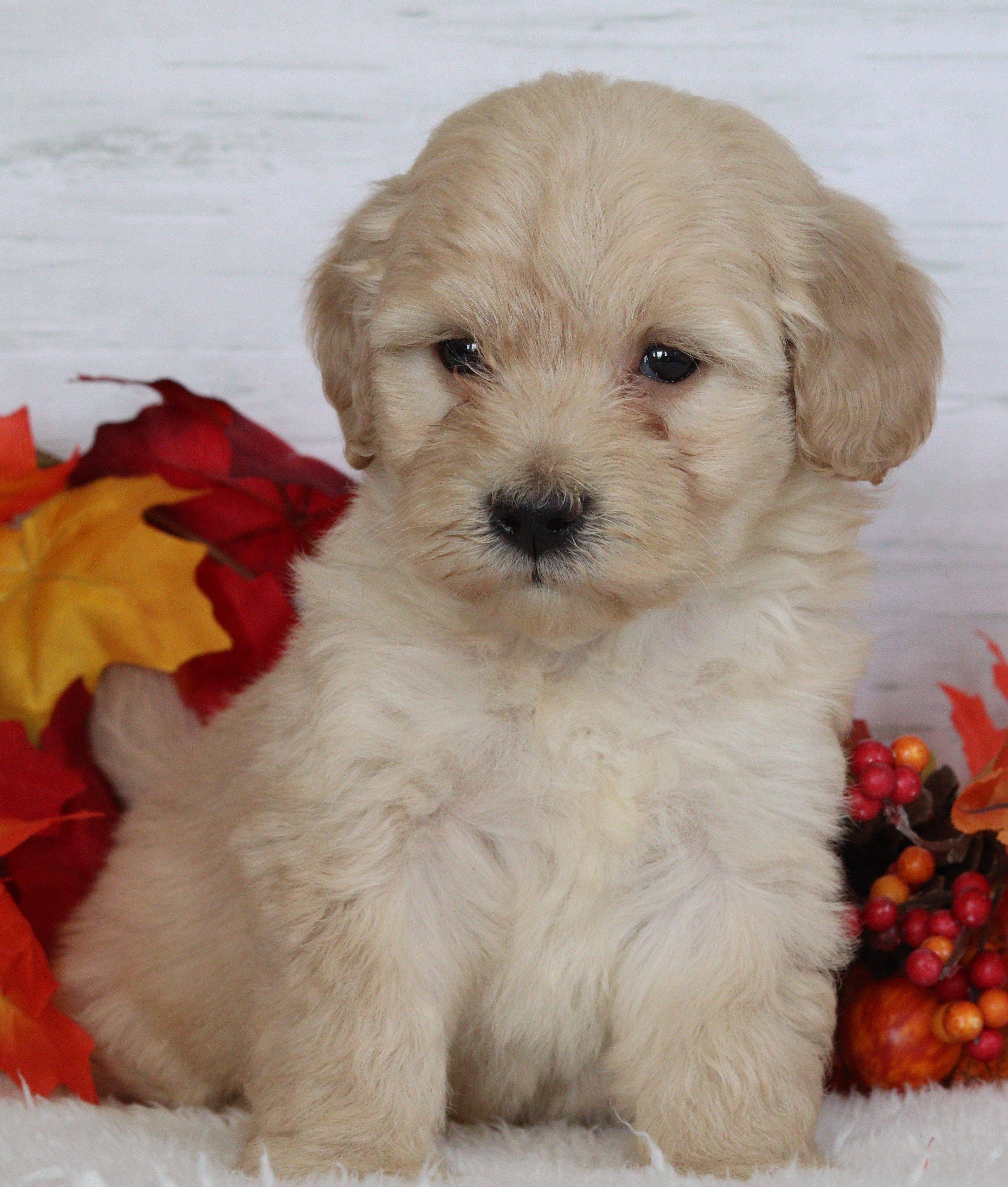 Puppies For Sale Shih Poo Puppies Lancaster Puppies Shih Poo