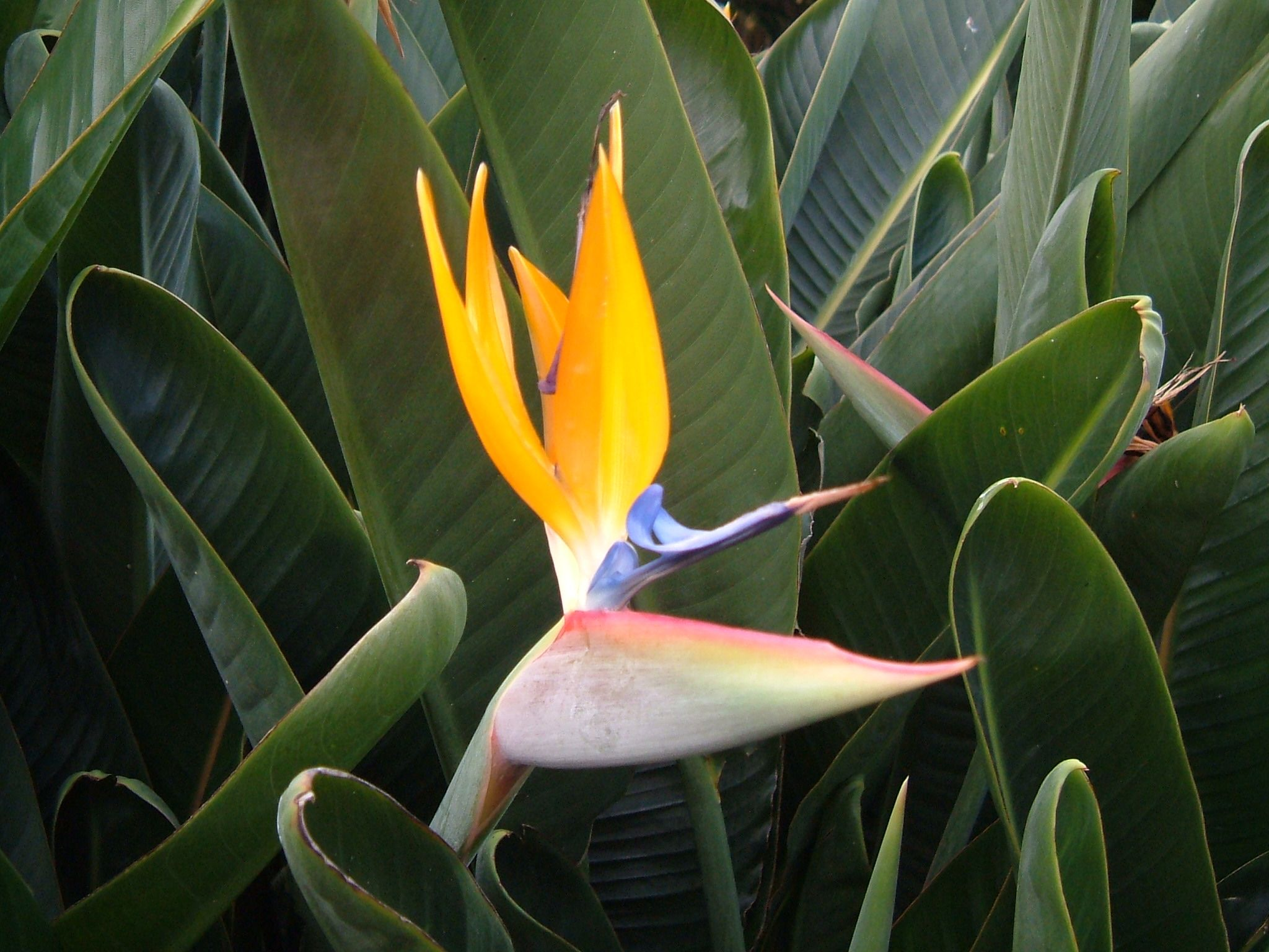 Strelitzias In Madeira Plant Leaves Plants Birds Of Paradise