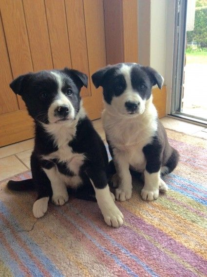 Border Collie Puppies Abergele Conwy Pets4homes Collie Puppies Border Collie Puppies Border Collie