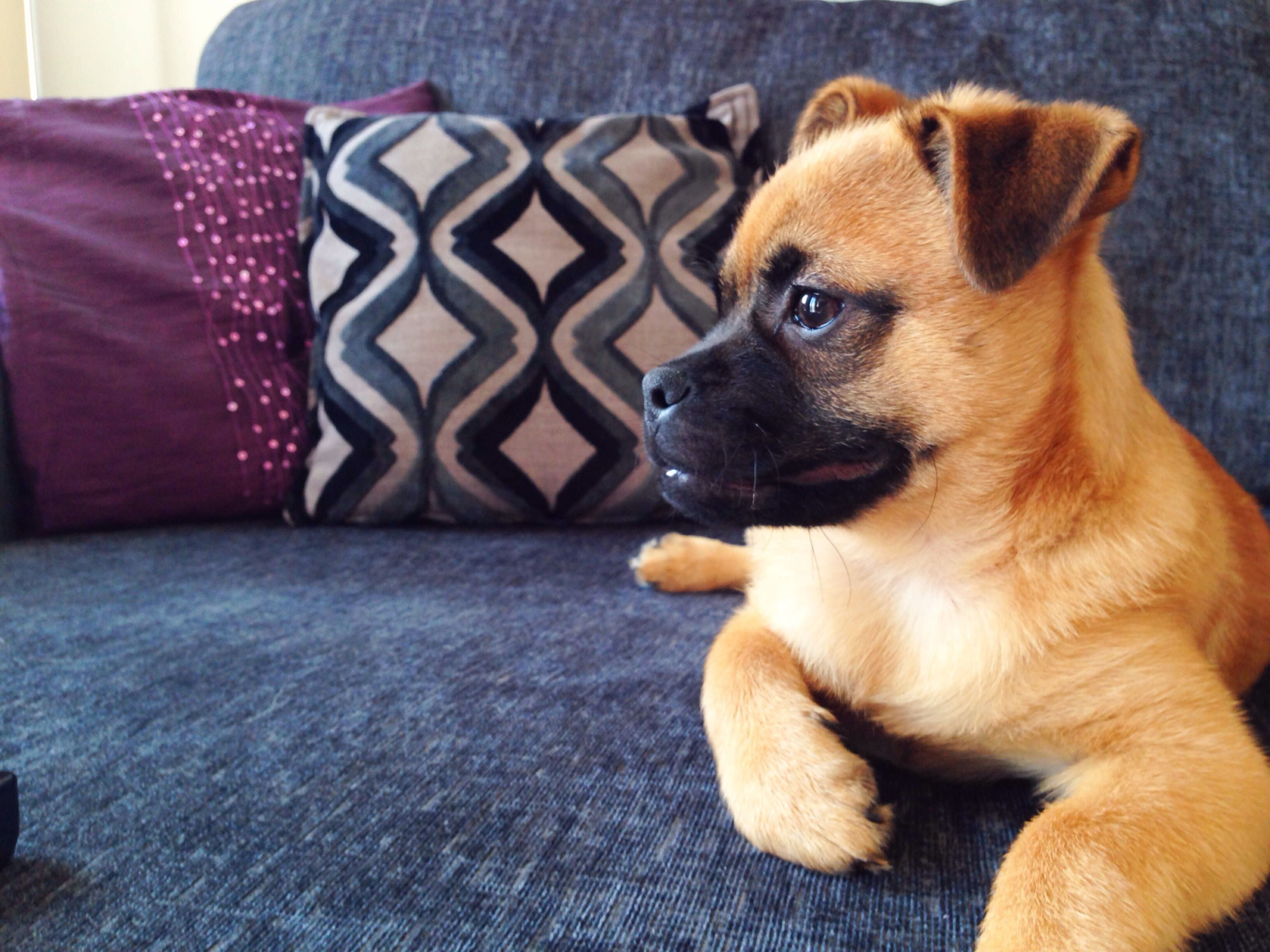 Thor The Pomapug Pug Puppy Dog Cute With Images Hybrid