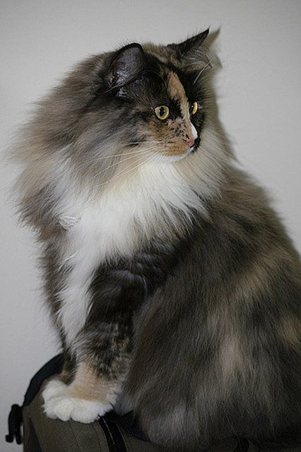 Norwegian Forest Cat So Beautiful With Images Norwegian Forest Cat Beautiful Cats Forest Cat