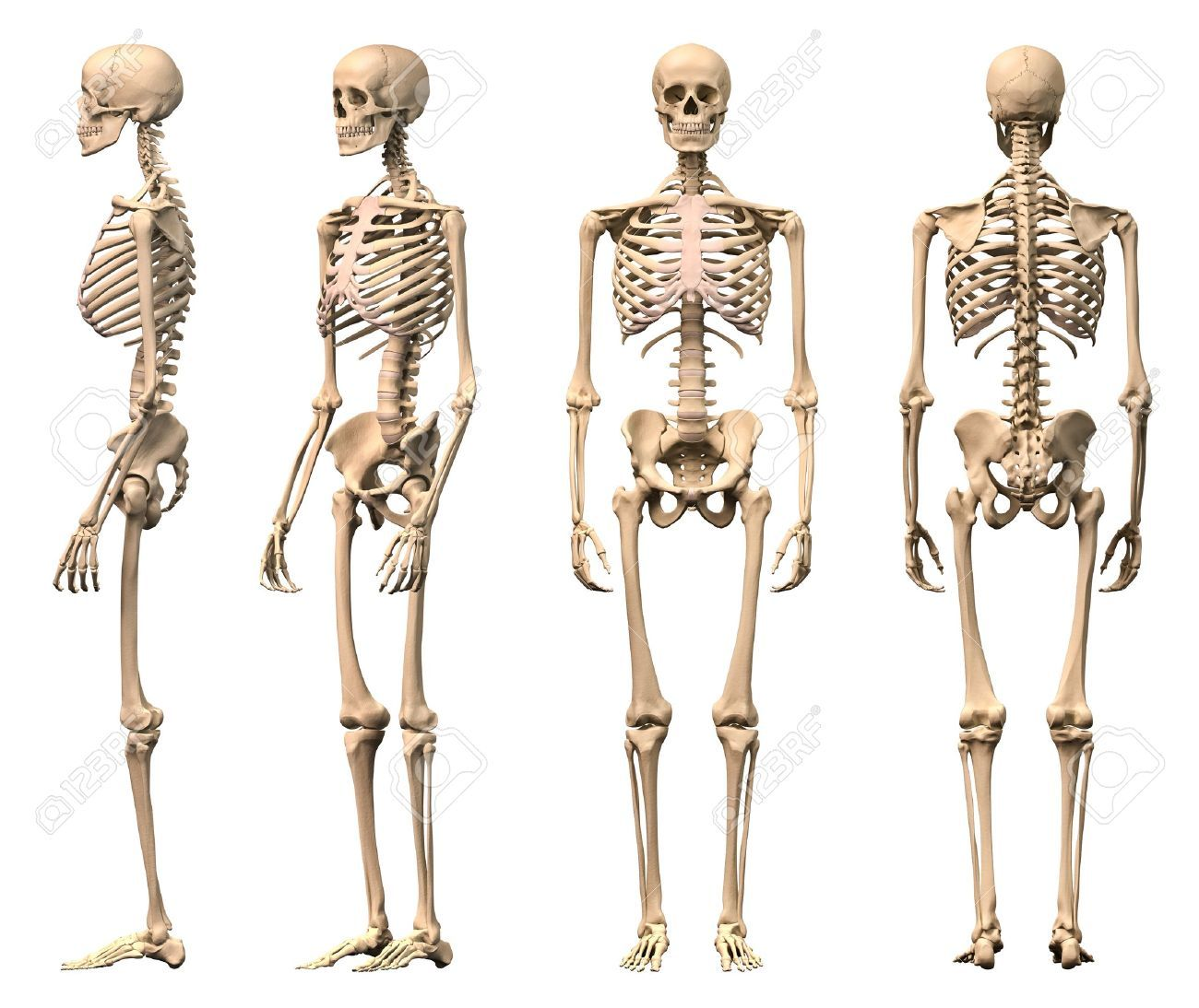 Male Human skeleton, four views, front, back, side and perspective ...