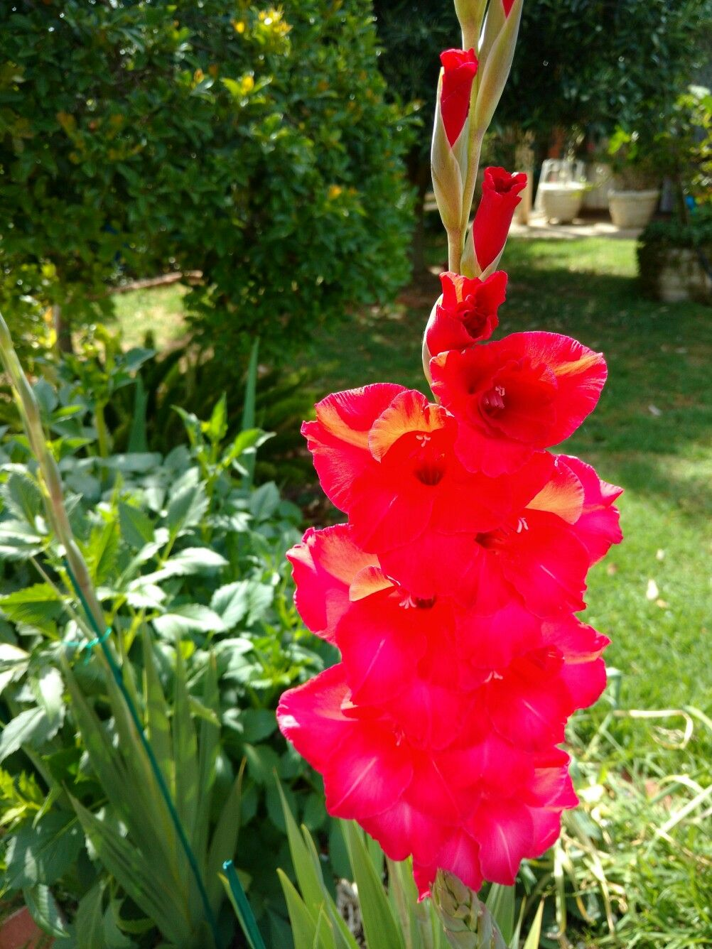 """Gladioli from the Latin word """"gladius"""" meaning sword"""