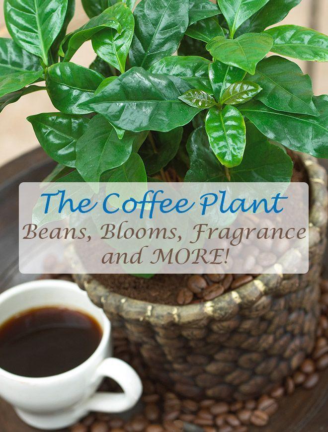 Arabica Coffee Plant | Coffee plant