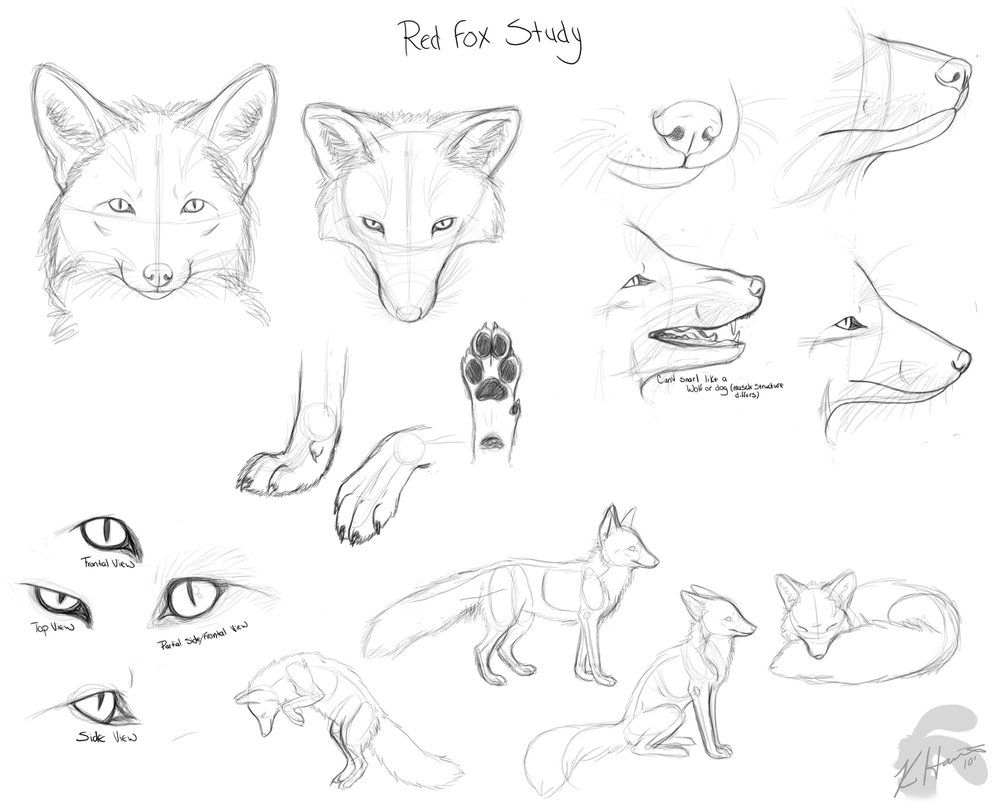 Red fox anatomy study sketches Download for full size I