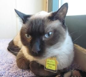 Crash Is An Adoptable Siamese Cat In Lakewood Co Hi Im Crash I Came To The Shelter With My Friend Coltrane When Our Siamese Cats Cats New Baby Products