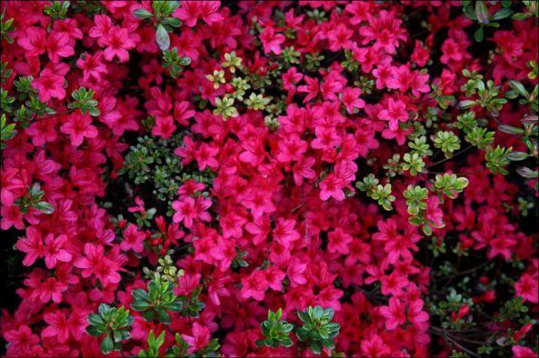 Shadows Of Messiah Azaleas Spring Flowers Greek Flowers Flower Garden