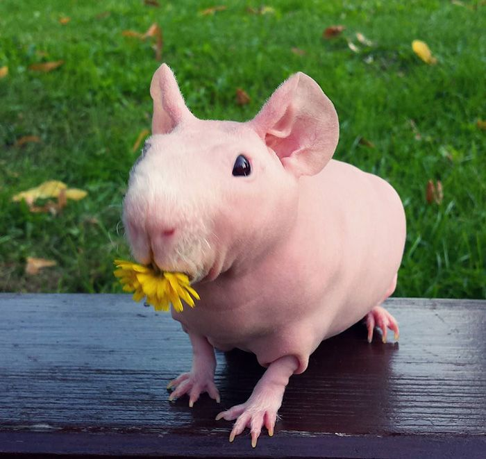 Naked Guinea Pig Poses With His Favorite Food Skinny Pig Animal - Ludwig the bald guinea pig is winning the internets hearts