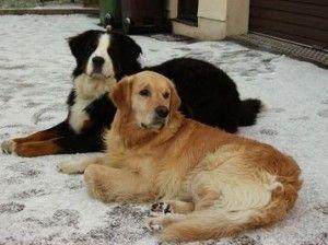 Bernese Mountain Dog Golden Retriever If I Ever Get A Dog It
