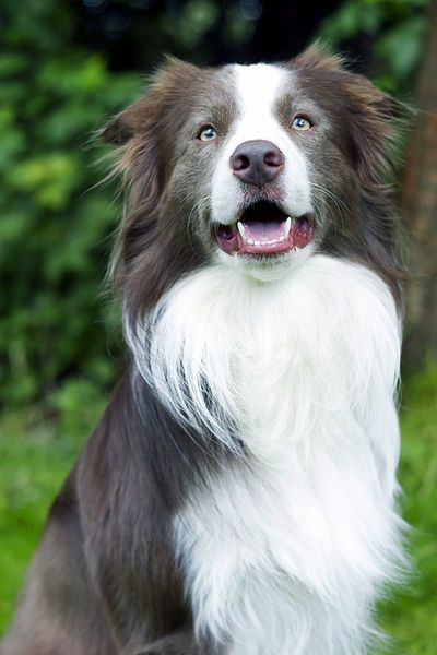 Border Collie Deckrüden | Australian Shepherd | Pinterest | Collie