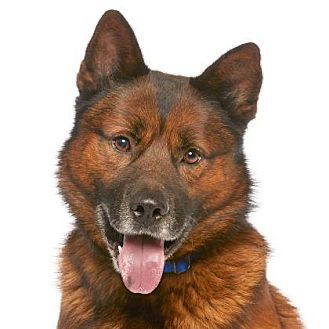 Los Angeles Ca German Shepherd Dog Chow Chow Mix Meet Samson