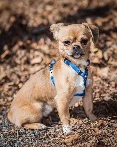 Adopt Punk On Animal Welfare League Adoption Pekingese
