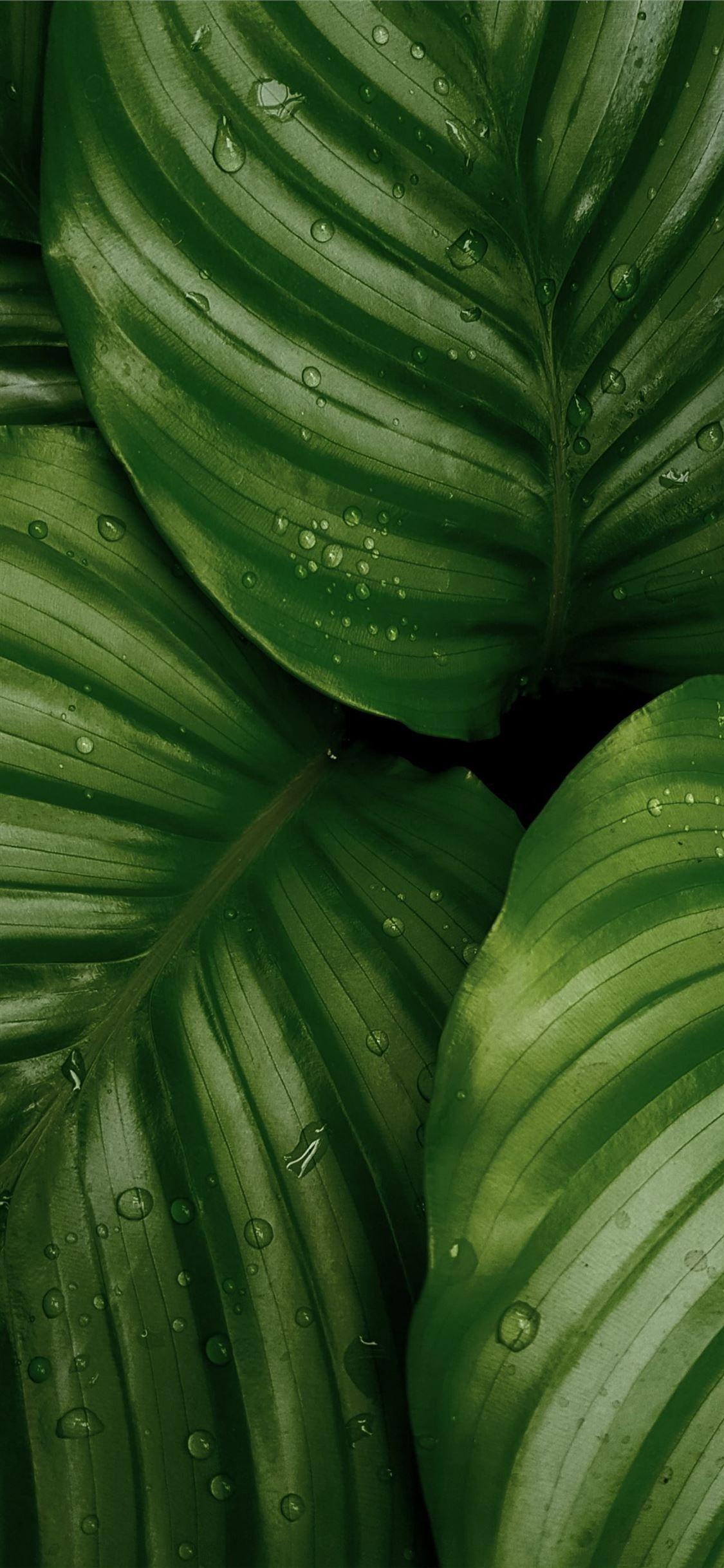 Water Droplets On Green Leaves Leaf Food Nature Iphonexwallpaper Green Nature Wallpaper Green Leaf Wallpaper Dark Green Aesthetic