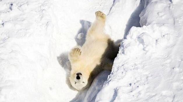 Pikkuisella jääkarhunpennulla on valtavasti touhuenergiaa.