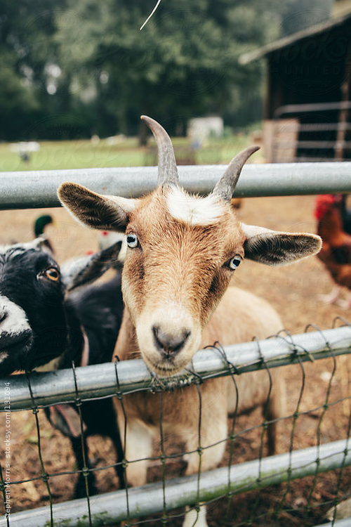 Goats at the farm.