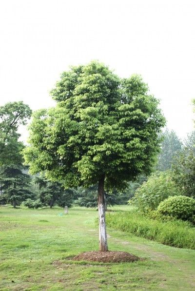 Caring For Camphor Tree How To Grow Camphor Trees In The Landscape Trees To Plant Landscape Trees Plants