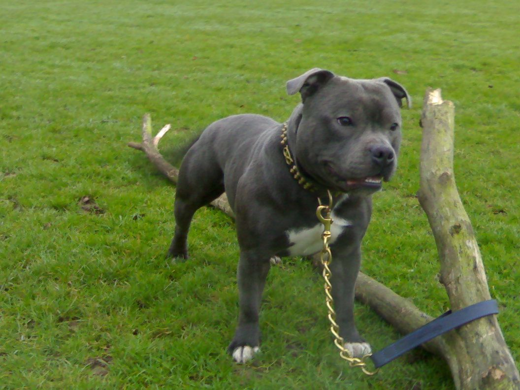 blue bull terrier blue staffordshire bull terrier google search cute 2239