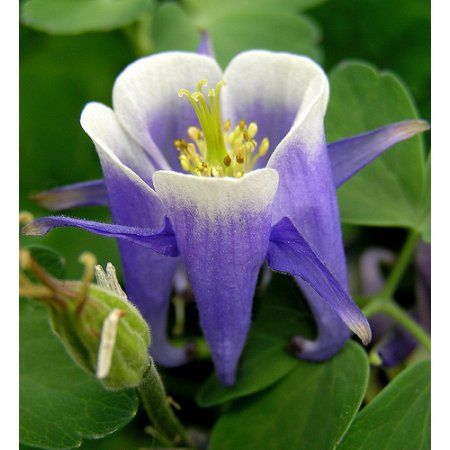 Winky Blue & White Columbine Perennial - Aquilegia - Quart Pot ...