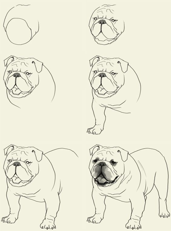 how to draw bulldog