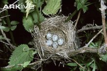 Marsh warbler eggs in nest