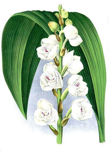 La Flor Nacional De Panamá Peristeria Elata Producción Artística Pinturas Dibujos