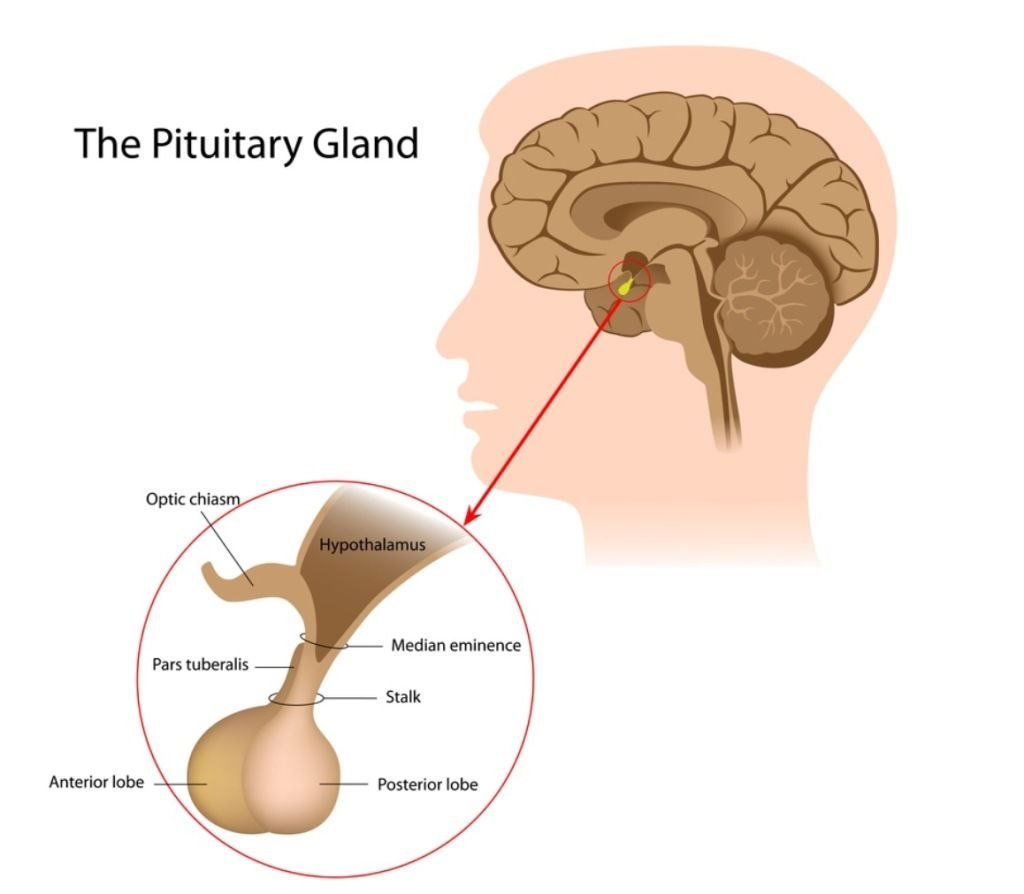 Image Of The Pituitary Gland, Anterior Lobe, Posterior Lobe ...