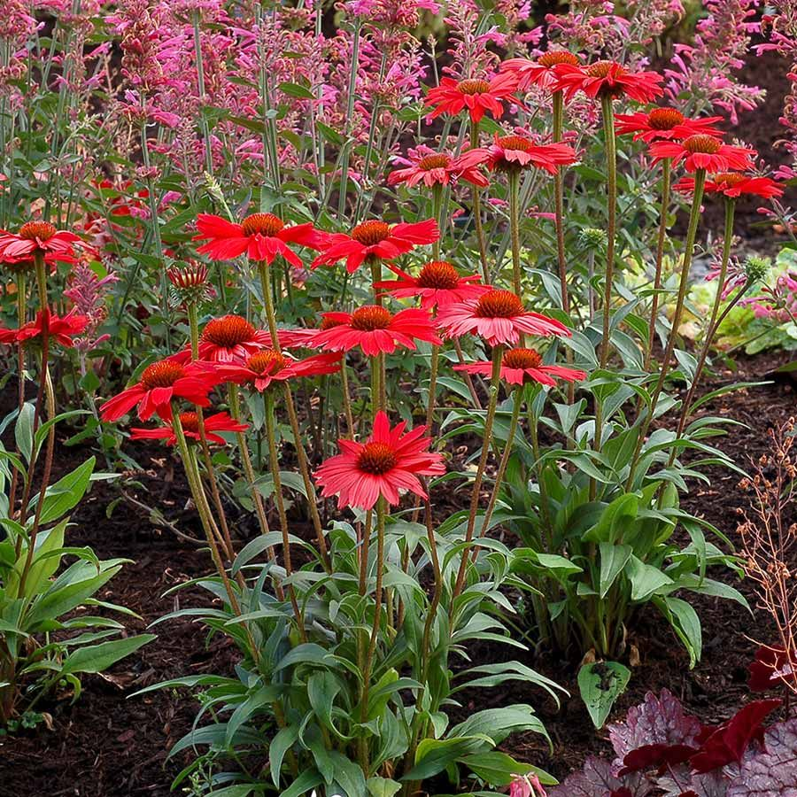 Echinacea Kismet Red With Images Echinacea Planting Flowers