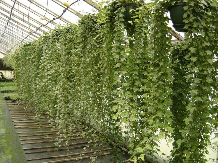 Hanging Ivy Vines Plants Balcony Plants 400 x 300