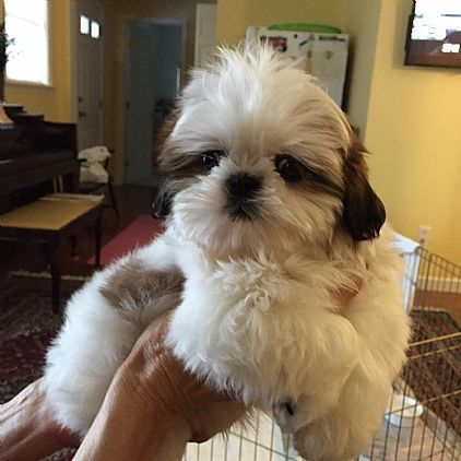 Shih Tzu Puppy Pet Dog Puppies For Sale In Loudonville Ny A00001
