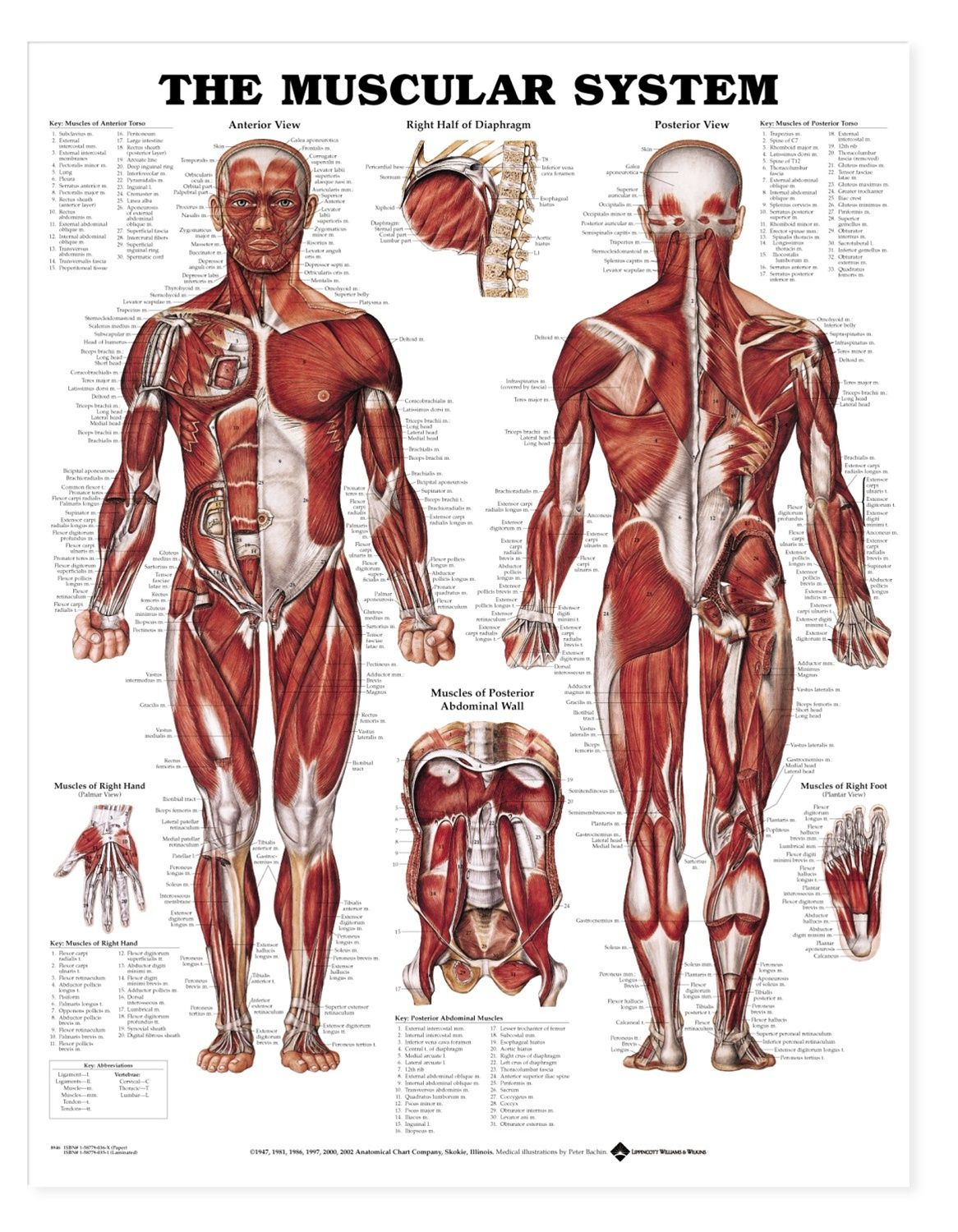 the muscular system - deep layers, front laminated anatomy chart, Muscles